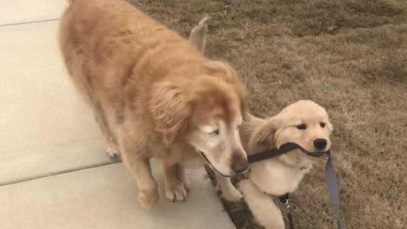 Τυφλός σκύλος απέκτησε οδηγό – κουτάβι κι έχουν γίνει πραγματικά αχώριστοι (εικόνες & βίντεο)